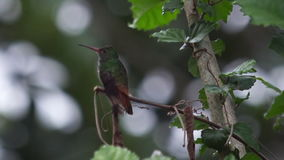 Rufous Tailed Hummingbird stock video