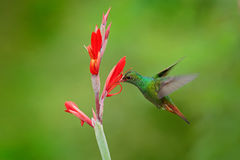 Rufous-tailed Hummingbird, Amazilia tzacatl, bird fling next to beautiful red flower in natural habitat, clear green background. Colombia royalty free stock photos