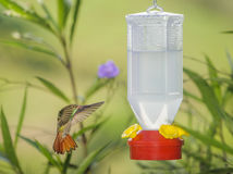 Rufous-tailed Hummingbird Feeding Royalty Free Stock Photo