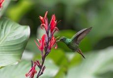 Rufous-tailed Hummingbird Royalty Free Stock Photography