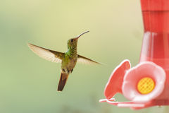 Rufous Tailed Hummingbird Royalty Free Stock Images