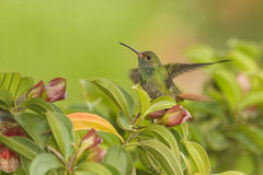 Rufous-tailed Hummingbird Landing Royalty Free Stock Image