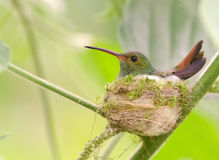 Rufous-tailed Hummingbird on nest. Rufous-tailed Hummingbird sitting on eggs in the nest.  Panama Stock Image