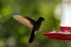 Rufous-tailed hummingbird with outstretched wings,tropical forest,Peru,bird hovering next to red feeder with sugar water, garden,c. Lear background,nature scene royalty free stock images