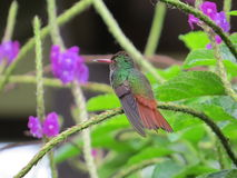 Rufous-tailed Hummingbird Royalty Free Stock Photo
