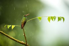 Rufous-tailed hummingbird sitting on branch in rain, hummingbird from tropical rain forest,Colombia,bird perching,tiny beautiful b royalty free stock photography