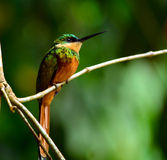 Rufous-tailed jacamar Royalty Free Stock Photos