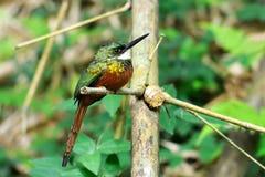 Rufous-tailed Jacamar (den Galbula ruficaudaen) Fotografering för Bildbyråer