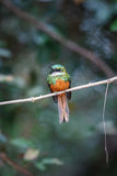 Rufous-tailed Jacamar on a tree in the nature habitat Stock Photography