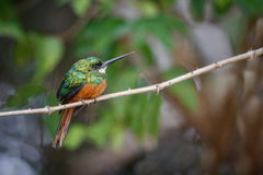 Rufous-tailed Jacamar on a tree in the nature habitat Royalty Free Stock Image