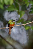 Rufous-tailed Jacamar on a tree in the nature habitat Stock Image