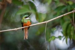 Rufous-tailed Jacamar on a tree in the nature habitat Royalty Free Stock Photography