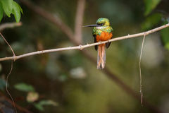Rufous-tailed Jacamar on a tree in the nature habitat Stock Images
