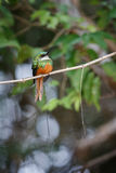 Rufous-tailed Jacamar on a tree in the nature habitat Royalty Free Stock Photos