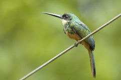 Rufous-tailed Jacamara (Galbula ruficauda) Stock Photo