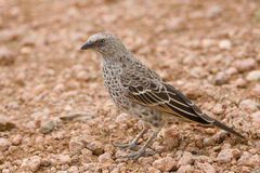 Rufous-tailed Weaver Stock Images