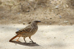 The rufous-tailed weaver Royalty Free Stock Photography
