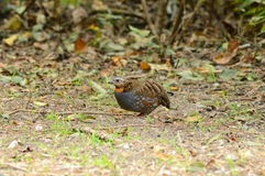 Rufous-throated partridge Royalty Free Stock Image