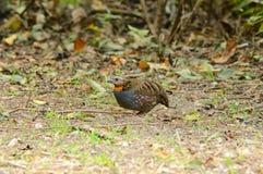 Rufous-throated partridge. Beautiful rufous-throated partridge(Arborophila rufogularis) in  Thai forest Royalty Free Stock Image