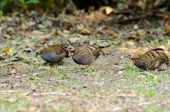 Rufous-throated partridge. Beautiful rufous-throated partridge(Arborophila rufogularis) in  Thai forest Stock Photos