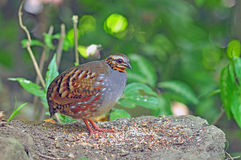 Rufous-throated Partridge. Birds of Thailand Stock Photography