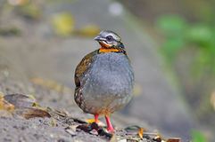 Rufous-throated Partridge. Birds of Thailand Royalty Free Stock Photo