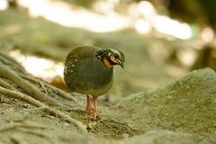 Rufous-throated partridge. Beautiful rufous-throated partridge (Arborophila rufogularis) in Thai forest Stock Photos