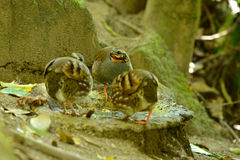 Rufous-throated partridge Stock Images