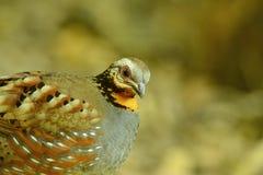 Rufous-throated partridge. Beautiful rufous-throated partridge (Arborophila rufogularis) in Thai forest Stock Photo