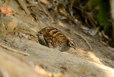 Rufous-throated partridge Royalty Free Stock Photography