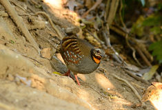 Rufous-throated partridge. Beautiful rufous-throated partridge (Arborophila rufogularis) in Thai forest Stock Images