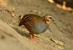 Rufous-throated partridge. Beautiful rufous-throated partridge (Arborophila rufogularis) in Thai forest Royalty Free Stock Photo