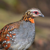 Rufous throated partridge. Beautiful  Arborophila rufogularis (rufous-throated partridge) in nature at Meawong national park,Thailand Royalty Free Stock Photography