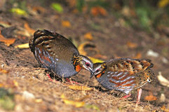 Rufous-throated Partridge. Colorful Partridge bird, couple of Rufous-throated Partridge (Arborophila rufogularis), on the ground, taken in Thailand Stock Photography