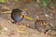 Rufous-throated Partridge. Colorful Partridge, couple of Rufous-throated Partridge (Arborophila rufogularis), side and breast profile, taken in Thailand Stock Photo