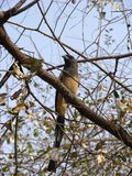 Rufous Tree Pie. Photo of a rufous tree pie in Ranthambore National Park, india Stock Images