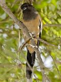 A rufous tree pie staring at the photographer Stock Image