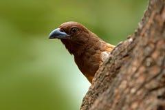 Rufous Treepie, Dendrocitta-vagabunda, Detailporträt des Vogels von Ranthambore, Indien-Wald, Baumast Szene der wild lebenden Tie Lizenzfreie Stockfotos