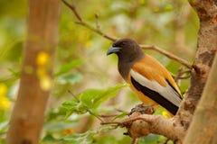 Rufous Treepie, Dendrocitta-vagabunda, Detailporträt des Vogels von Ranthambore, Indien-Wald, Baumast Szene der wild lebenden Tie Stockbilder