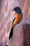 Rufous treepie (Dendrocitta vagabunda) sitting at Ranthambore Fo Royalty Free Stock Photo