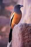 Rufous treepie (Dendrocitta vagabunda) sitting at Ranthambore Fo Royalty Free Stock Images