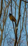 RUFOUS TREEPIE Royalty Free Stock Photography