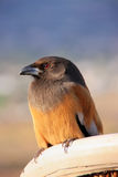 Rufous Treepie, Pushkar, Rajasthan, India Stock Photography