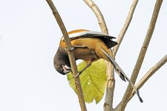 Rufous treepie. Eating insect on a tree Stock Photos