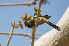 Rufous treepie und Gummi-Karaya-Baum Lizenzfreie Stockfotografie