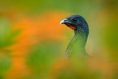 Rufous-vädrad Chachalaca, Ortalisruficauda, konstsikt, exotisk vändkretsfågel i skognaturlivsmiljön, gräsplan och orange blomma t Royaltyfria Bilder