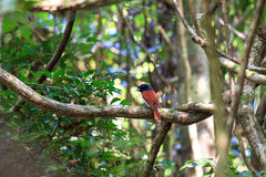 The rufous vanga. Small bird in the jungle of Masoala, Madagascar, what looks like the Rufous vanga (Schetba rufa Royalty Free Stock Image