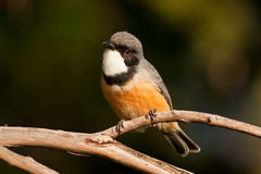 Rufous Whistler Royalty Free Stock Photography