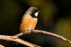 Rufous Whistler Royalty Free Stock Image