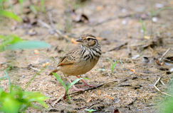 Rufous-winged bushlark Stock Photos